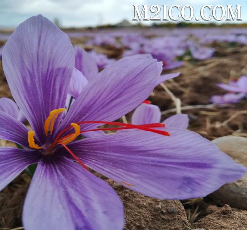 Saffron1 final